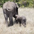 African elephant nursing its baby — Stock Photo #61899075