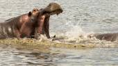 Male hippopotamus fighting with open mouth — ストック写真