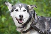 Alaskan Husky — Zdjęcie stockowe