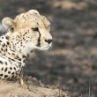 Cheetah sitting on a termite mound — Stock Photo #62586041