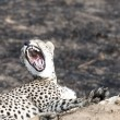 Cheetah sitting on a termite mound and yawning — Stock Photo #62586045