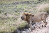Male African lion standing — Stock Photo