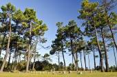 Picnic area in marine pine forest in Yeu island  — Stock Photo