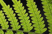 Bracken Fern Leaf — Stock Photo
