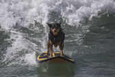 Dog Surfing on a Wave — Stock Photo