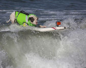 Pitt Bull catching a wave — Stock Photo