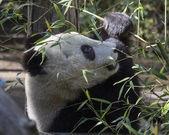 Reuzenpanda welp eten — Stockfoto