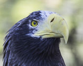 Eagle headshot — Stock Photo