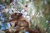 Koala Bear and its baby — Stock Photo