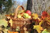 Korg med äpplen — Stockfoto