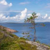 Lonely little pine tree on the island of German Kuzov (close-up) — Stock Photo