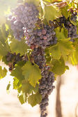 Bunches of red grapes — Stock Photo