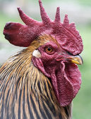 Rooster face — Stock Photo