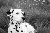 Dalmatian over grass — Stock Photo