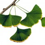 Ginkgo Biloba Leaves — Stock Photo #62188931