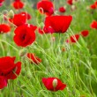 Постер, плакат: Red poppies with water drops