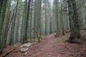 Path in spruce forest — Stock Photo