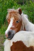 Ponies familiy — Stock Photo