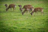 Fallow-deer — Stock Photo