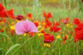 Diversity - pink poppy — Zdjęcie stockowe