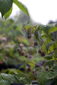 Spider's Web in the thickets of raspberry — Stock Photo