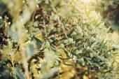 Olives on olive tree in autumn — Stock Photo