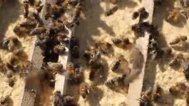 Bees gathering food — Stock Video