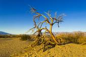 Daad Tree on Mesquite Flat Dunes Death Valley — Stock Photo