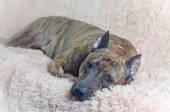 Brown striped pitbull — Stock Photo