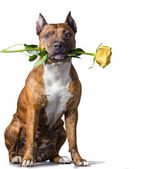 Rad striped dog with a yellow rose — Stock Photo