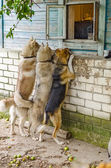 Dog look in a window outside the house — Stock Photo