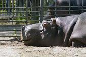 Hipopotam spanie i uśmiechając się — Zdjęcie stockowe
