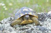 Spur thighed turtle (Testudo graeca) — Stock Photo
