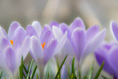 Crocuses in the spring — Stock Photo