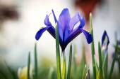 Irises in the spring — Stock Photo