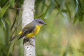 Eastern Yellow Robin — Stock Photo