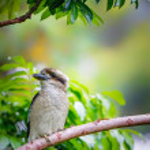 Kookaburra in a tree — Stock Photo #64648657