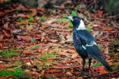 Magpie — Stok fotoğraf