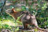Sniffing Wallaby — Stock Photo