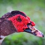 Muscovy drake — Stock Photo #70753141