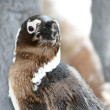 African penguin portrait — Stock Photo #62805179