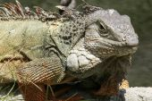 Close up of wild Iguana — Stock Photo