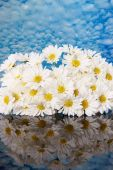 Mirrored daisy blooms — Stock Photo