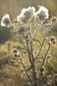White thistle in field — Stock Photo