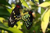 Mating tiger butterflies — Stock Photo