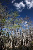 Cypress trees at the Everglades — Stock Photo