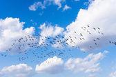 South Korea's migratory geese — Stock Photo