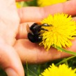 Dandelion flower and a bumblebee in a palm — Stock Photo #72036021