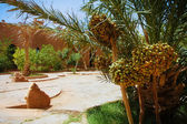 A beautiful moroccan garden with date palm trees with riping datel fruit and glowing sand surface — Stock Photo