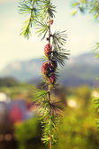 Branch with cones. Larix leptolepis, Ovulate cones of larch tree, spring — Stock Photo